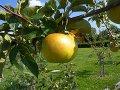 Anleitung: Apfelbaum richtig schneiden