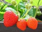 Anleitung: Erdbeeren düngen