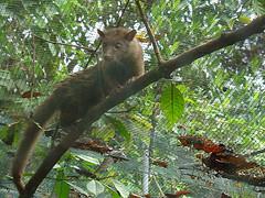 Durch die Fermentation im Darm der Schleichkatzen, entwickelt sich ein bestimmtes Aroma in den Kaffeekirschen, was oft als modrig, voll und leicht schokoladig bezeichnet wird.